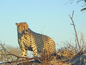 A male Cheetah surveys the burned out landscape.