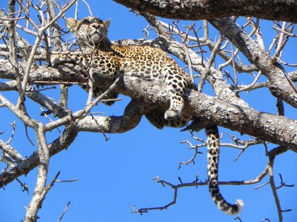 Up a tree, Ngala, South Africa.