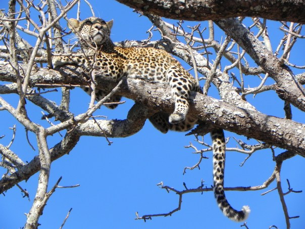 Up a tree, Ngala, South Africa.