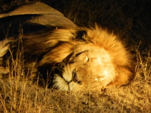 A sleeping Lion.