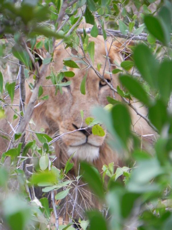 Hiding in plain sight, Timbivati, South Africa.