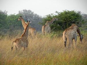 A Journey of Giraffe.