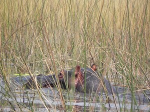 Most feared of all the African animals - the Hippo.