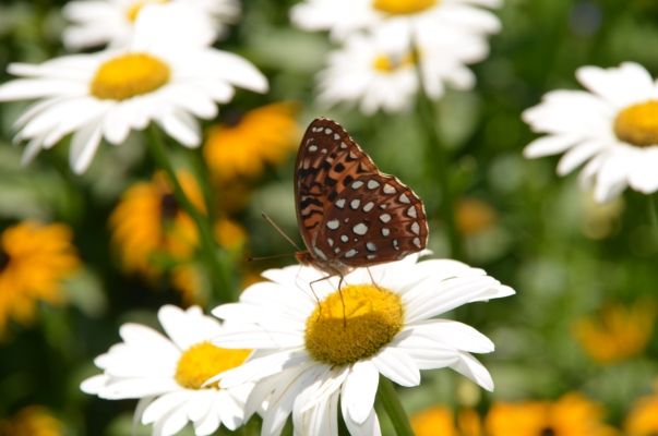 Shasta Daisies & friend.