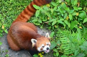 Cute Lesser Panda