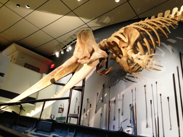 About half of the Sperm Whale skeleton at the Whaling Museum.