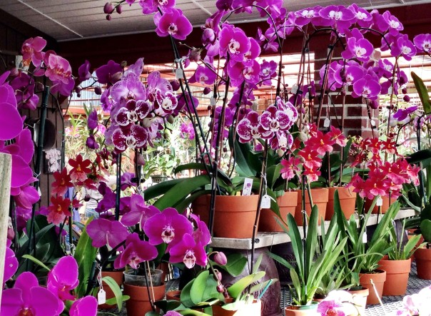 Beautiful orchids, incredible variety, great prices (and more) at RF Orchids.