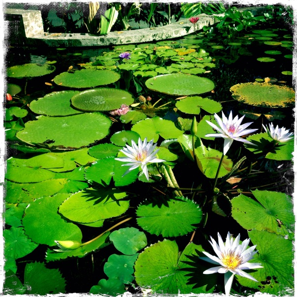 A tranquil lily pond, complete with a variety from the Amazon.