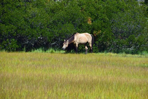 """Golden Moose"" one of the 150 famous Chincoteague ponies."