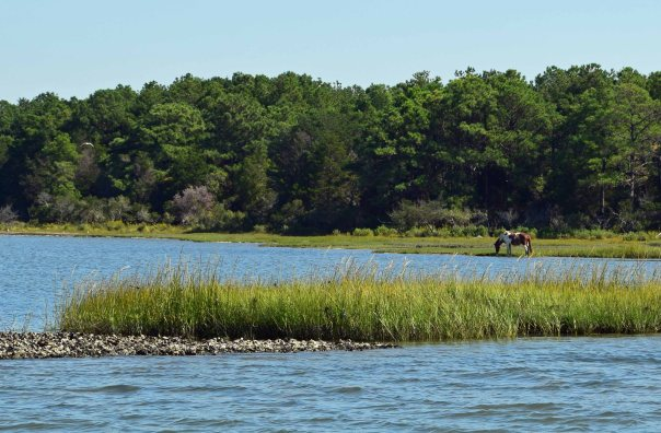 """Yankee Spirit"" enjoys a little marsh grass.  You can see one of the many local oyster beds in the foreground."
