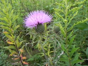 Whenever we emerged from the woods, beautiful Thistle were abundantly in bloom.