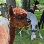 Alpaca wool is highly valued for softness, durability and warmth.  This little fellow sports the most popular (and therefore valuable) color.